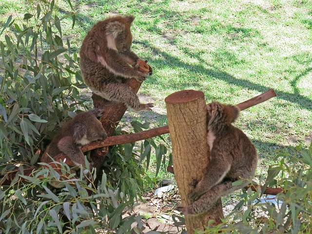 aussiewildlife-koala2