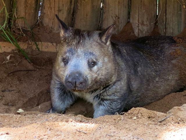 aussiewildlife-wombat2
