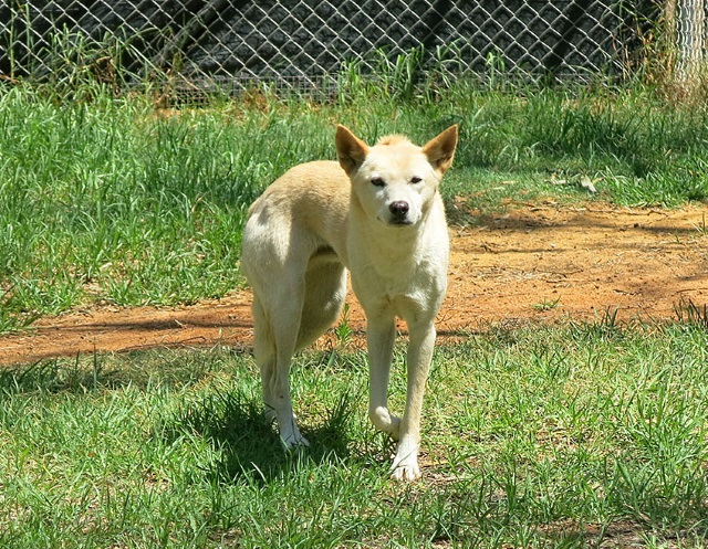 aussiewildlife-dingo2